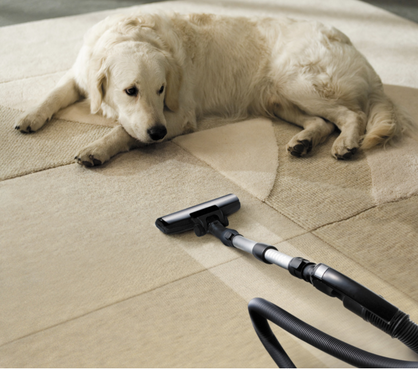 My dog loving clean carpets by Carpet Cleaning Richmond Hill
